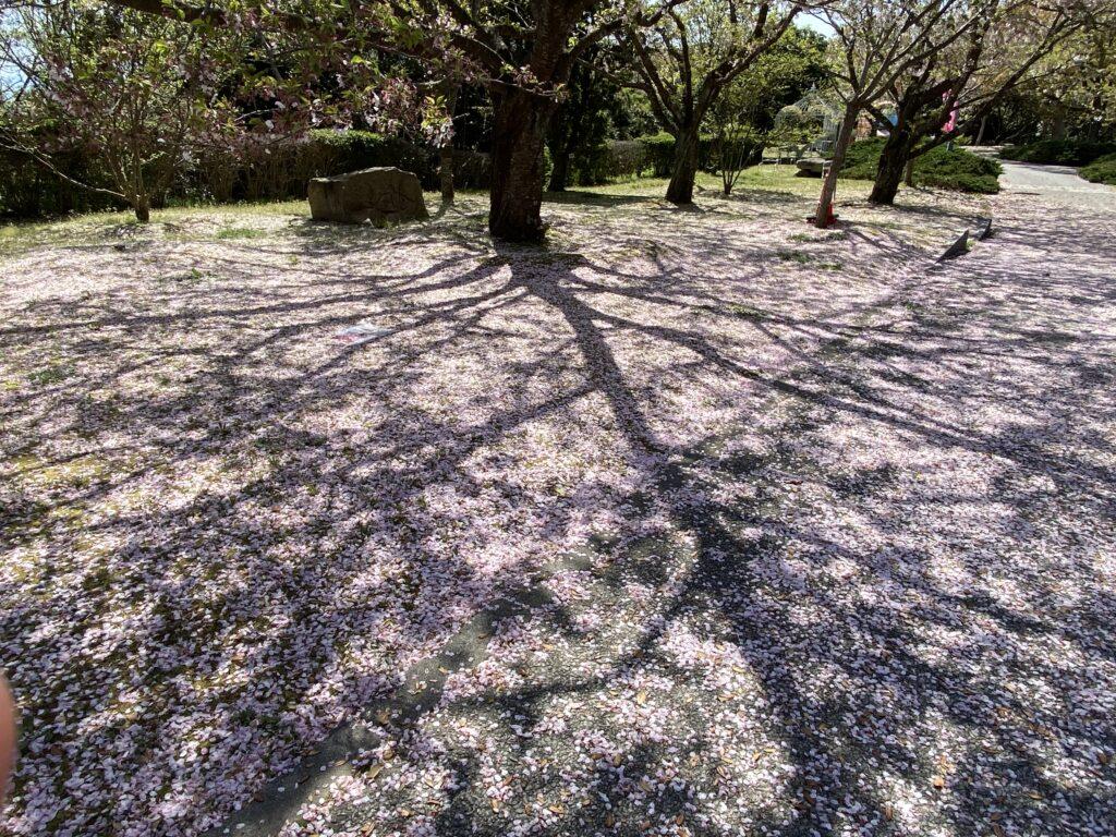桜の木 地面に現る